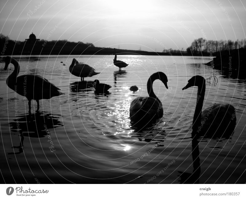 Swanning around Nature Water Beautiful Sky White Black Animal Gray Lake Landscape Bird Group of animals Natural Lakeside Pond