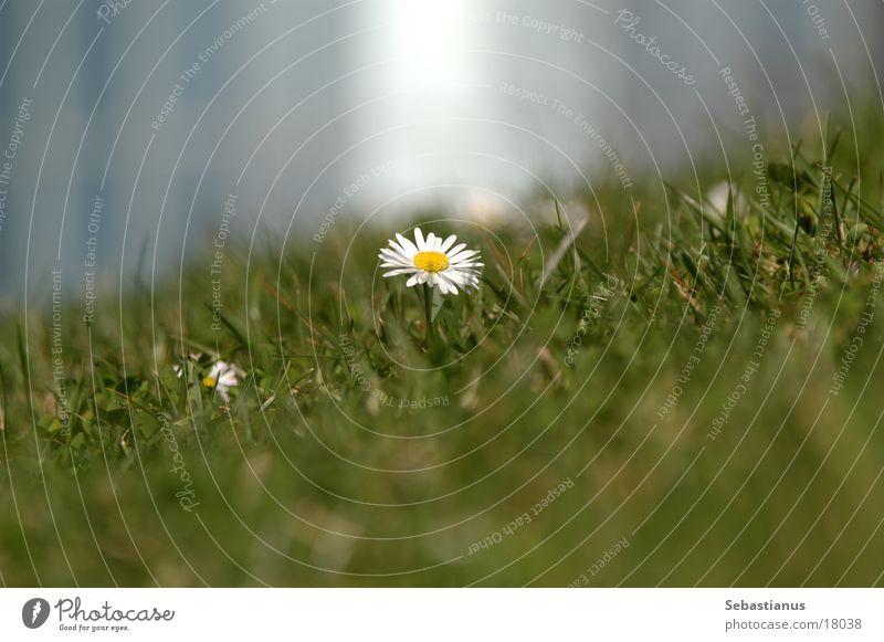 Flower Plant Meadow Lawn Daisy