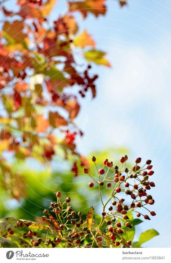 Happy Autumn Nature Plant Sky Sun Beautiful weather Tree Bushes Leaf Rose hip Fruit Berries Illuminate Bright Multicoloured Moody Joie de vivre (Vitality)