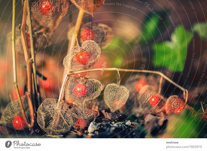 Physalis net Tropical fruits Elegant Style Nature Earth Summer Beautiful weather Plant Bushes Wild plant Fruit Chinese lantern flower Flower Garden Park