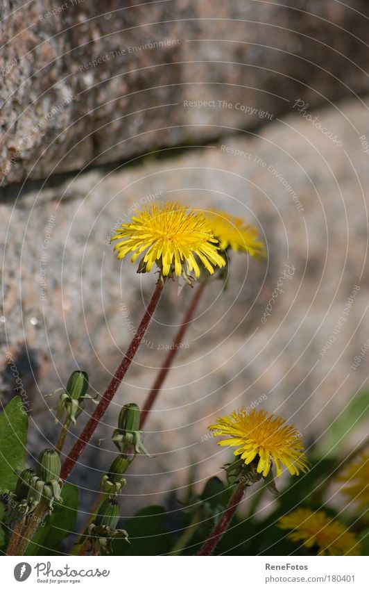 Flower Plant Summer Yellow Wall (building) Blossom Wall (barrier) Park Esthetic Dandelion Beautiful weather Wild plant
