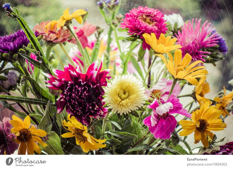 Ostrich (colorful) Nature Plant Summer Flower Blossom Blossoming Natural Multicoloured Green Red Floristry Bouquet Meadow flower Dahlia sun bride Colour photo