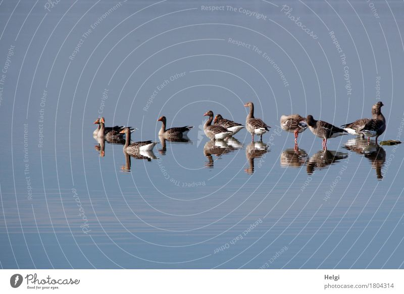 I see double... Environment Nature Animal Water Autumn Beautiful weather Lake Dümmer See Wild animal Bird Goose Gray lag goose Group of animals