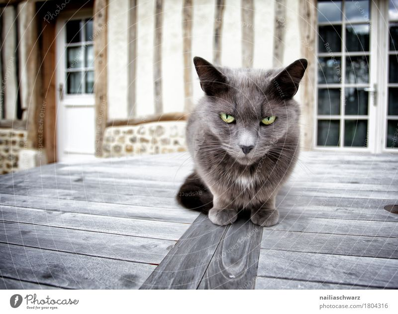 the boss Animal Pet Cat Animal face 1 Wood Observe Looking Sit Threat Brash Cuddly Curiosity Speed Reliability Soft Gray Moody Cool (slang) Brave