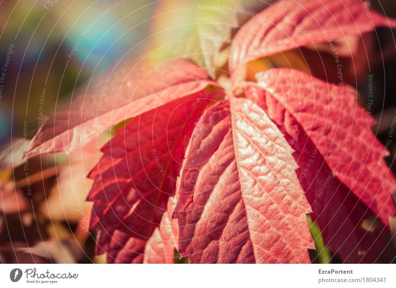 Vine leaf (wild) Environment Nature Autumn Climate Beautiful weather Plant Leaf Wild plant Garden Forest Illuminate Red Colour Growth Change Virginia Creeper