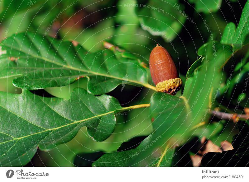 Nature Green Tree Plant Leaf Calm Autumn Brown Power Natural Growth Environmental protection Oak tree Acorn Oak leaf Oak forest
