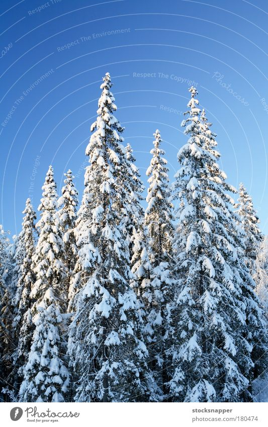 Spruce forest Tree Winter Forest Snow Landscape Nordic Finland Wilderness Finnish