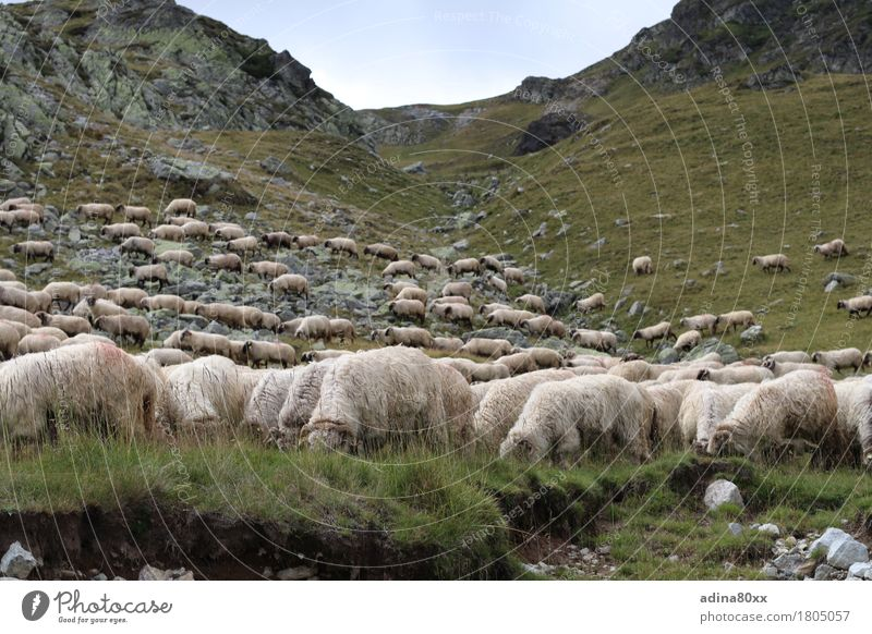 Flock of sheep in the Carpathians Agriculture Forestry Nature Landscape Animal Summer Hill Mountain Sheep Herd Relaxation To feed Feeding Contentment Serene