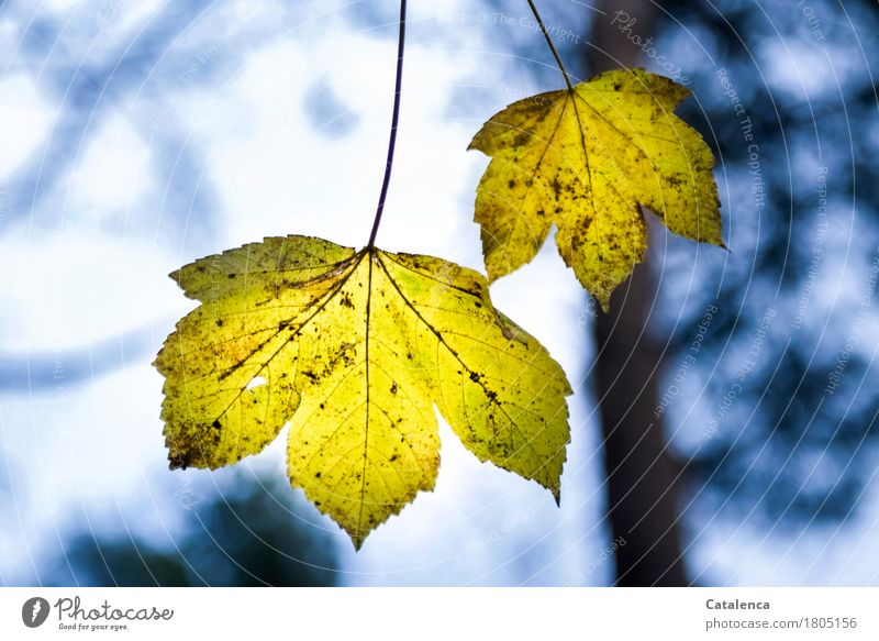 On a thin stem Nature Plant Air Tree Leaf Maple leaf Maple tree Forest Hang To dry up Esthetic Blue Yellow Black Turquoise Humble Variable Uniqueness Grief