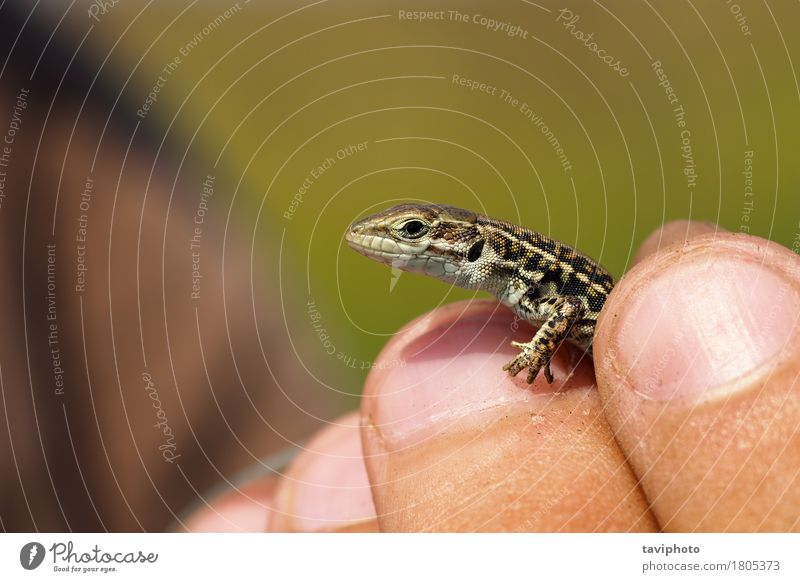 herpetologist holding balkan wall lizard Human being Nature Youth (Young adults) Colour Green Beautiful Hand Animal Face Small Brown Wild Vantage point Skin