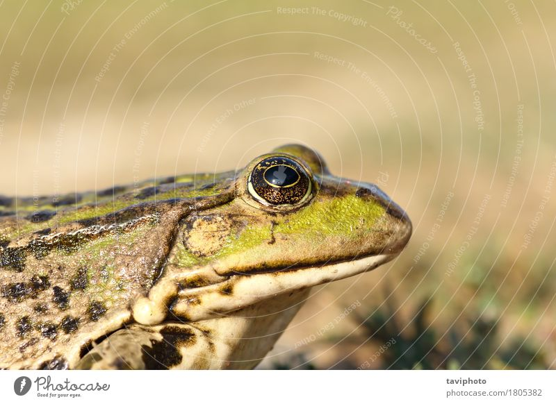 portrait of marsh frog Nature Colour Green Animal Natural Garden Lake Brown Wild Beauty Photography European Pond Wilderness Marsh Biology Slimy