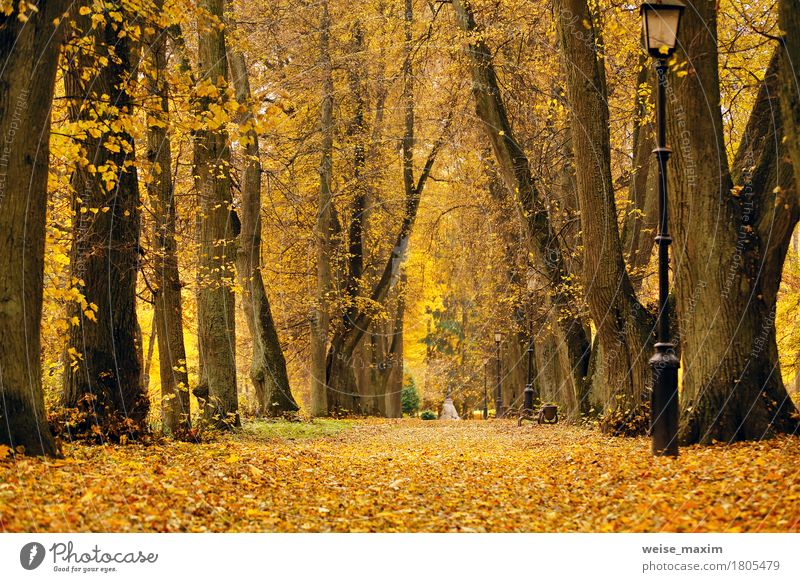 Foliage trees alley in park Vacation & Travel Tourism Trip Nature Landscape Plant Autumn Tree Leaf Garden Park Forest Street Fresh Bright Natural Yellow Gold