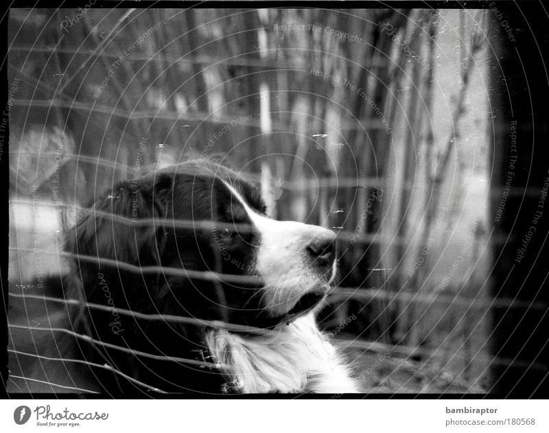 "<font color=""#ffff00"">-=http://www.photocase.de/de/photodetail.asp?i=- proudly presents Black & white photo Animal portrait Forward Pet Dog Looking Bear"