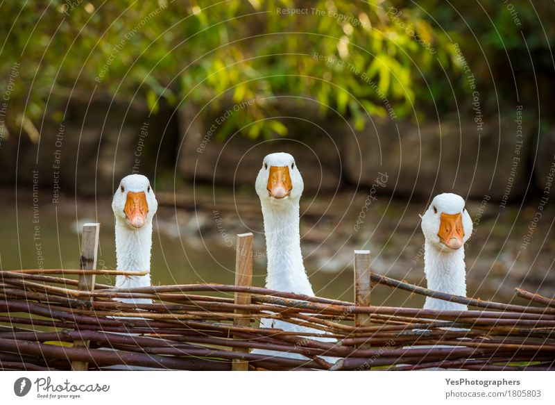 Three funny white geese Joy Face Agriculture Forestry Landscape Farm animal Bird Animal face 3 Group of animals Wood Observe Think Looking Playing Wait