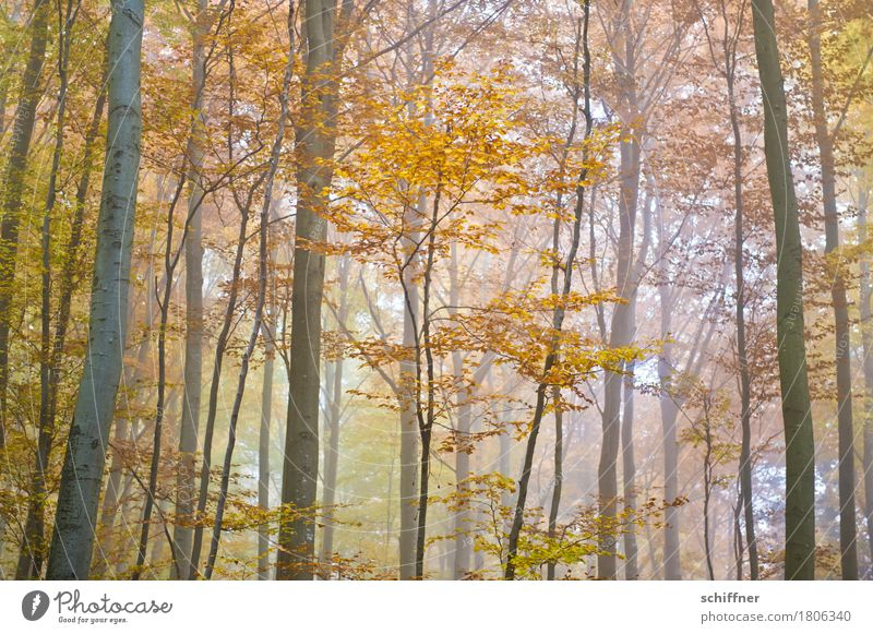 Nature Plant Tree Forest Yellow Autumn Fog Gold Autumn leaves Autumnal Autumnal colours Deciduous tree Autumnal weather Automn wood Deciduous forest Shroud of fog