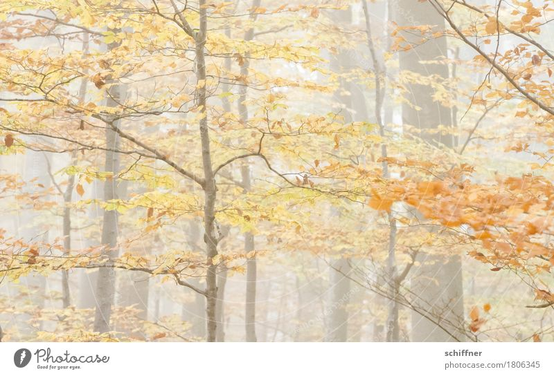 fade away Nature Autumn Fog Plant Tree Forest Brown Yellow Orange Autumnal Autumn leaves Autumnal colours Automn wood Autumnal weather Deciduous forest Branch