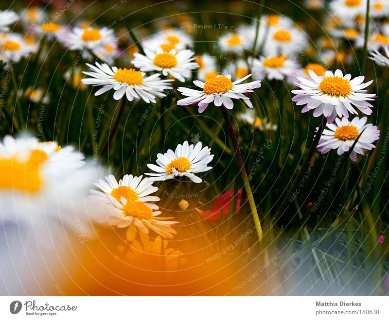 daisy Colour photo Blur Beautiful Relaxation Summer Nature Plant Spring Flower Grass Blossom Meadow Lie Dark Happiness Yellow Grief Transience Wreath Daisy
