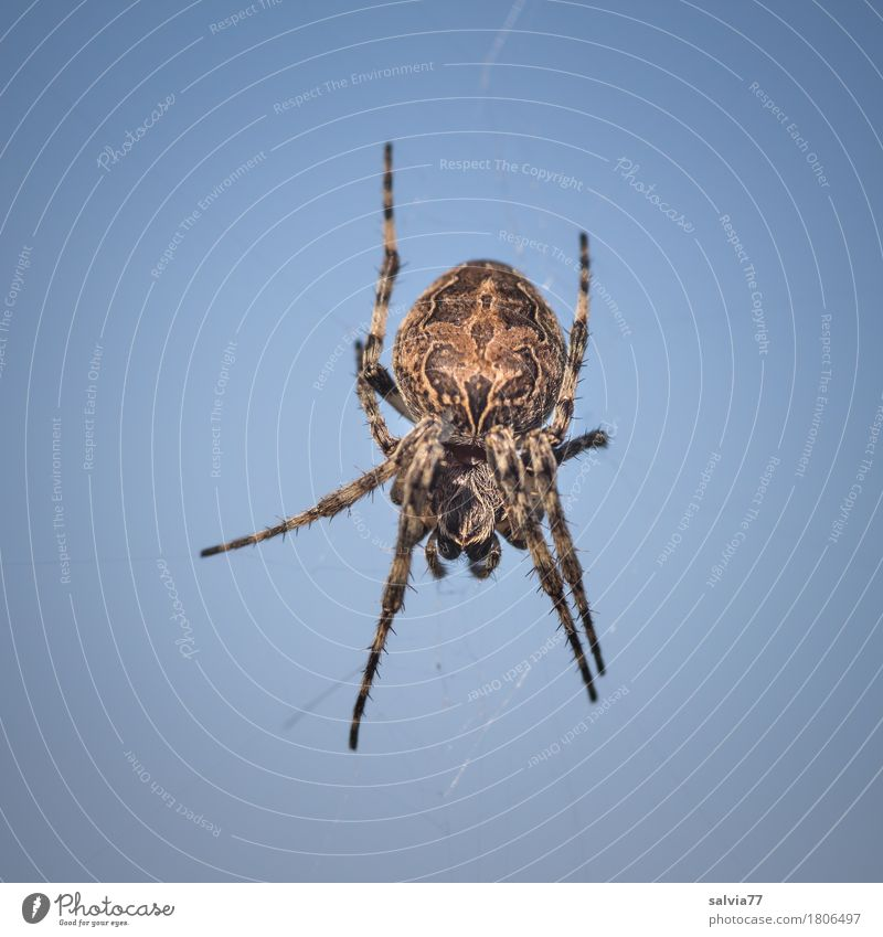 hanging in the air Nature Sky Sky only Cloudless sky Beautiful weather Spider 1 Animal Hang Wait Threat Disgust Creepy Blue Brown Resolve Risk Observe