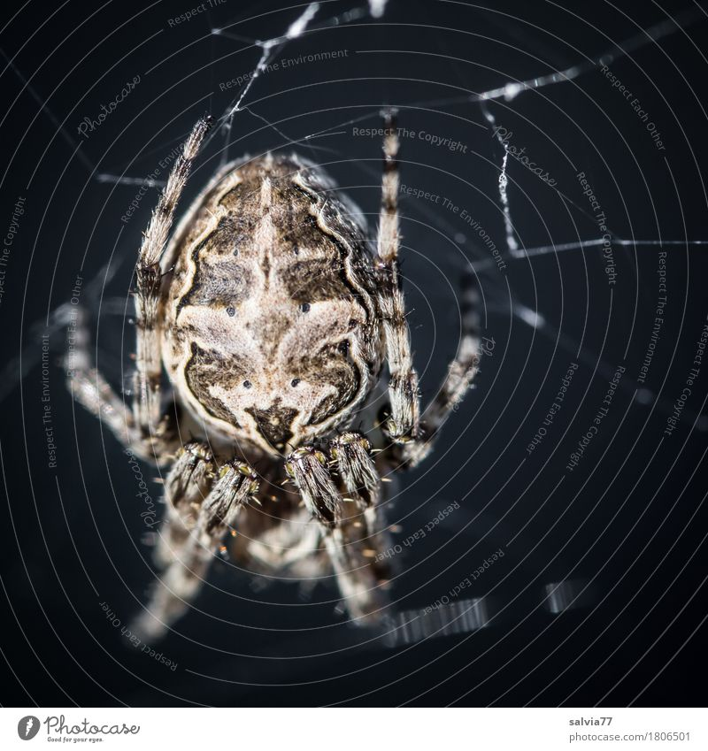 Happy Halloween Hallowe'en Wild animal Spider Spider legs Spider's web 1 Animal Hang Hunting Crawl Threat Creepy Near Gray Black Watchfulness Fear Horror