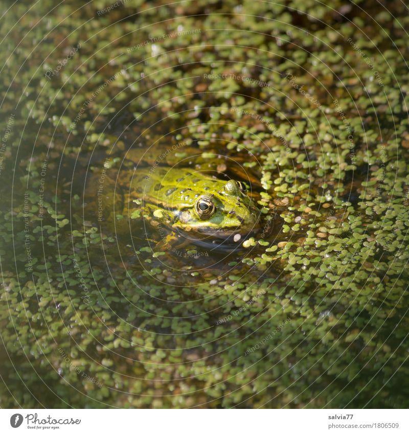 lens bath Environment Nature Plant Animal Summer Foliage plant pond lens Algae Pond Lake Wild animal Frog Water frog Amphibian 1 Observe Hunting Wait Green