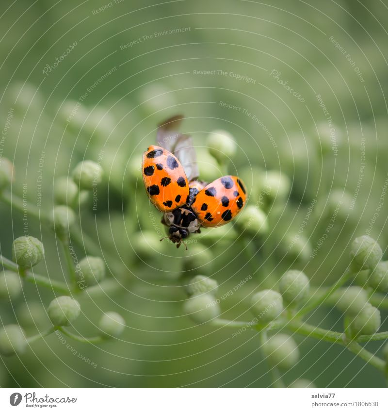 Ready to go Nature Plant Animal Blossom Bud Elderflower Beetle Ladybird Insect Flying Crawl Esthetic Free Small Positive Round Green Orange Spring fever