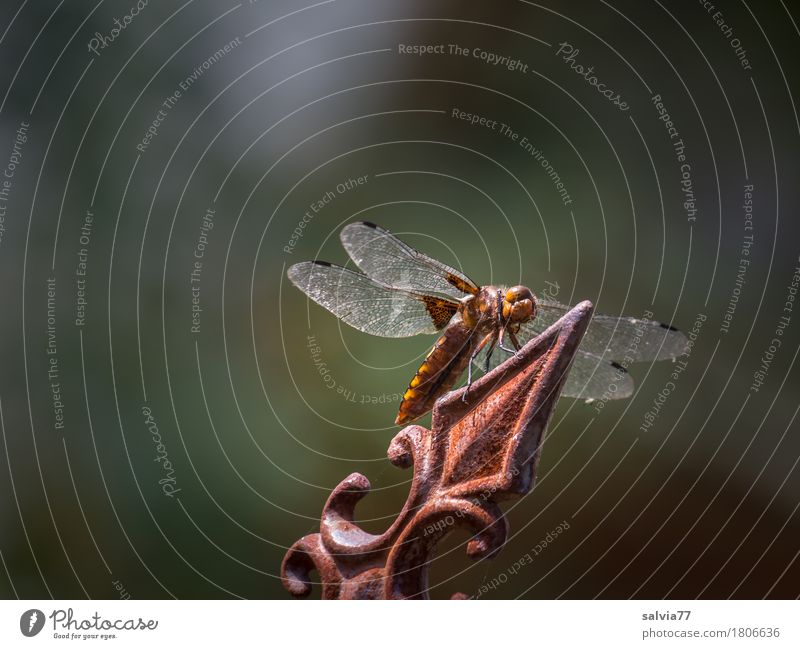 Orientation   Top view is always good Environment Nature Animal Summer Garden Wild animal Dragonfly Dragonfly wings Insect Articulate animals 1 Wait Speed Brown