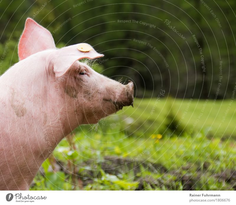 Nature Plant Animal Meadow Healthy Pink Pet Meat To feed Brash Farm animal Love of animals