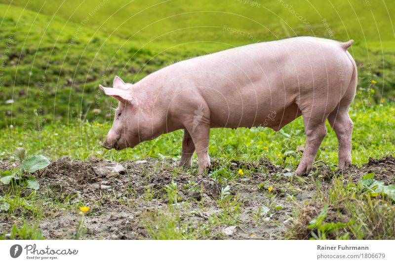 "a young domestic pig on a meadow Nature Animal Meadow Pet Farm animal ""Pig Pigs Piglet"" 1 To feed Walking Happy Cute Environment Environmental protection"