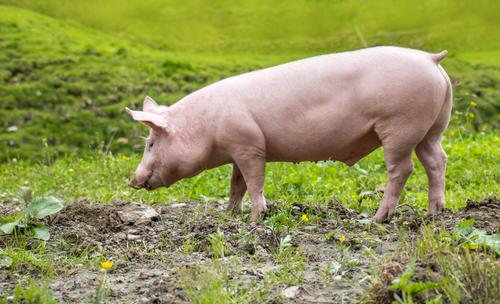 """a young domestic pig on a meadow Nature Animal Meadow Pet Farm animal """"Pig Pigs Piglet"""" 1 To feed Walking Happy Cute Environment Environmental protection"""