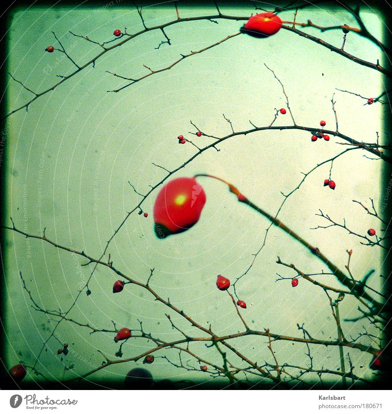 Sky Lomography Nature Red Plant Winter Environment Autumn Food Rose Blossom Bushes Twig Organic produce Colour photo Exterior shot