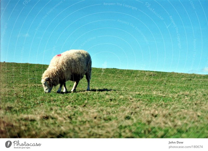 Shaun the Sheep Exterior shot Deserted Animal portrait Nutrition Landscape Sky Cloudless sky Beautiful weather Grass Meadow Pelt 1 To feed Infinity Cuddly