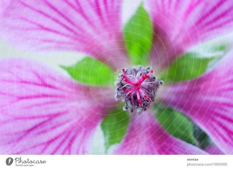Summer Green Flower Blossom Spring Gray Pink Mallow plants