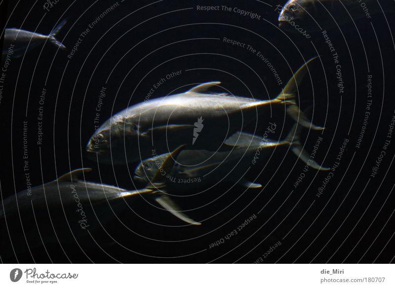 Black Animal Fish Group of animals Night Underwater photo Silver Eerie Flock Carp