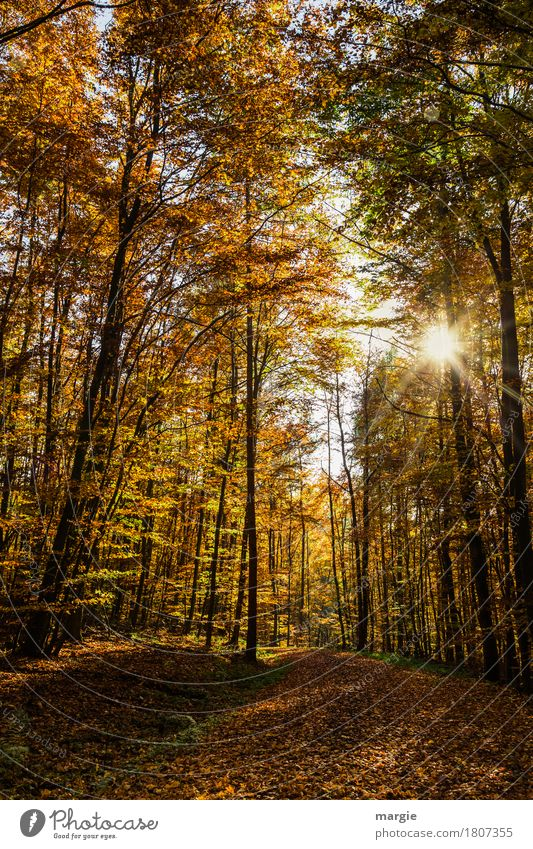 Path in autumn forest with sun Nature Beautiful weather Tree Leaf Forest Yellow Autumnal Autumn leaves Autumnal colours Autumnal weather Automn wood
