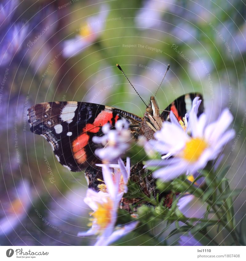admiral Plant Animal Sun Autumn Beautiful weather Flower Aster Garden Wild animal Butterfly Red admiral 1 Exceptional Natural Blue Multicoloured Yellow Green