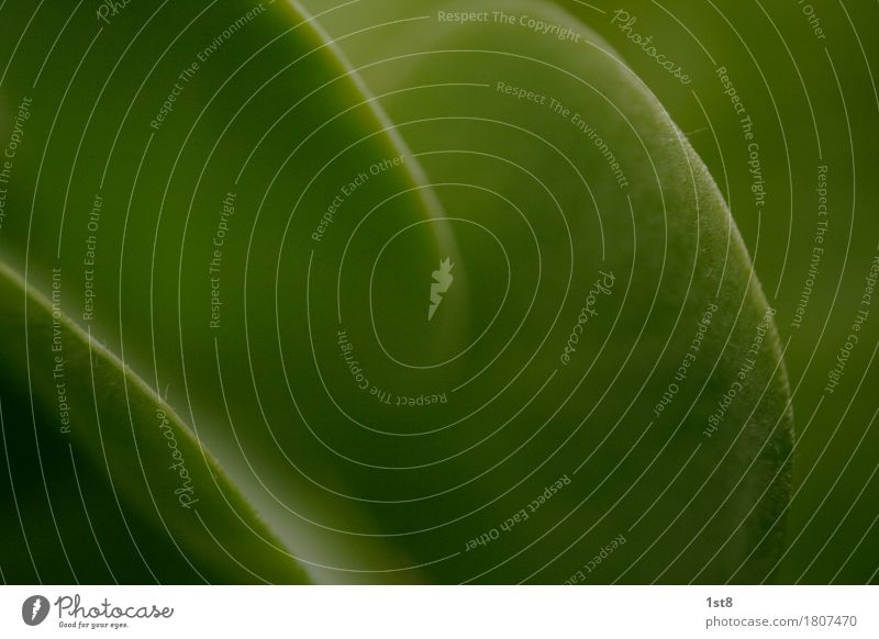 green curves Environment Nature Animal Plant Leaf Foliage plant Exotic Breathe Growth Juicy Green Rubber tree Low-key Arch Colour photo Close-up Detail