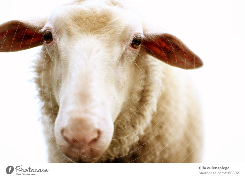 Tach also! Colour photo Exterior shot Deserted Neutral Background Animal portrait Looking into the camera Lunch Farm animal Animal face Sheep 1 Observe