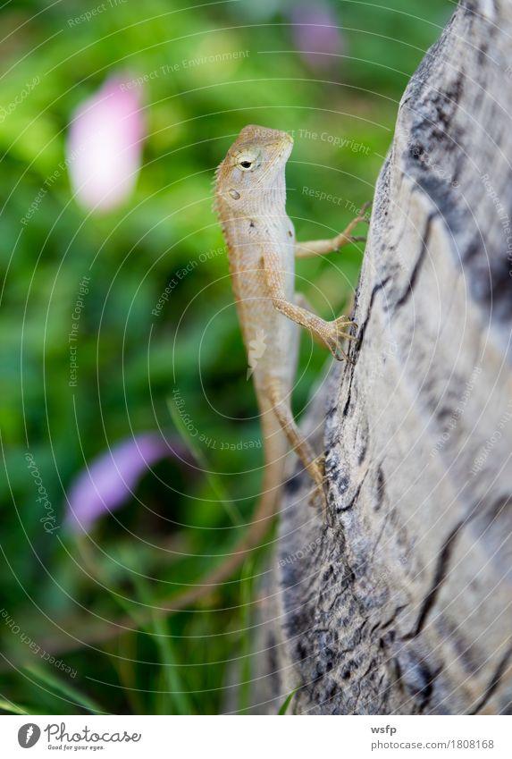Lizard in Thailand sitting at a tree trunk Nature Animal Sit Saurians Gekko Gecko Iguana Tree trunk sunbathe Reptiles Exterior shot