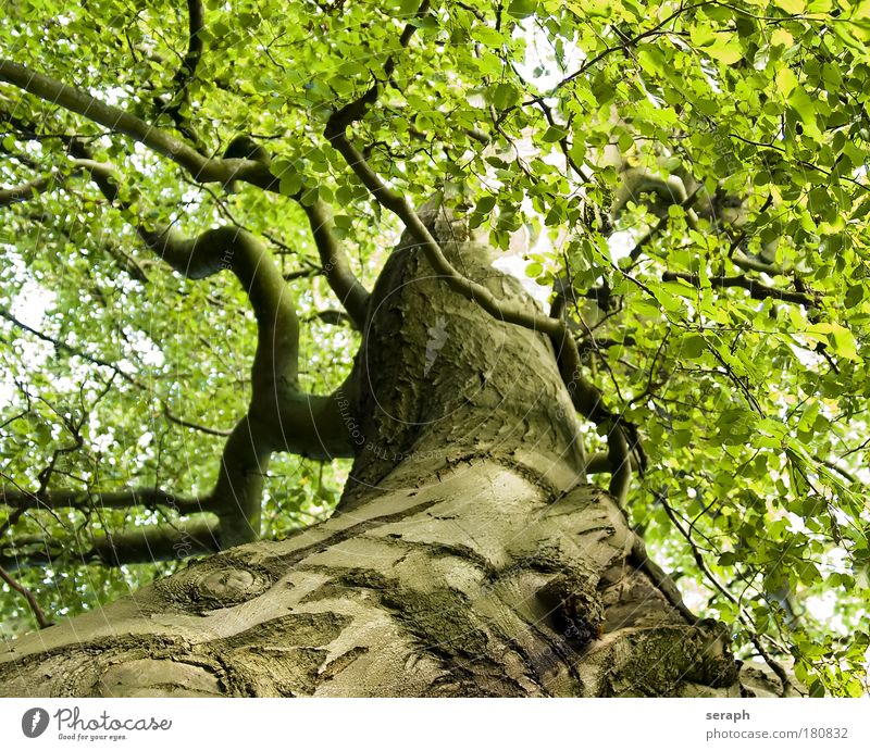 Ancient Beech Tree Leaf Forest Dream Healthy Natural Growth Branch Treetop Fairy tale Environmental protection Fantasy Interlaced Branchage Verdant