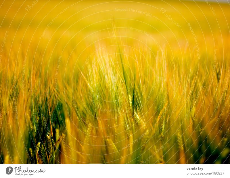 Nature Green Plant Yellow Far-off places Warmth Orange Field Background picture Grain Environment Gold Grass Hot Blade of grass Hell