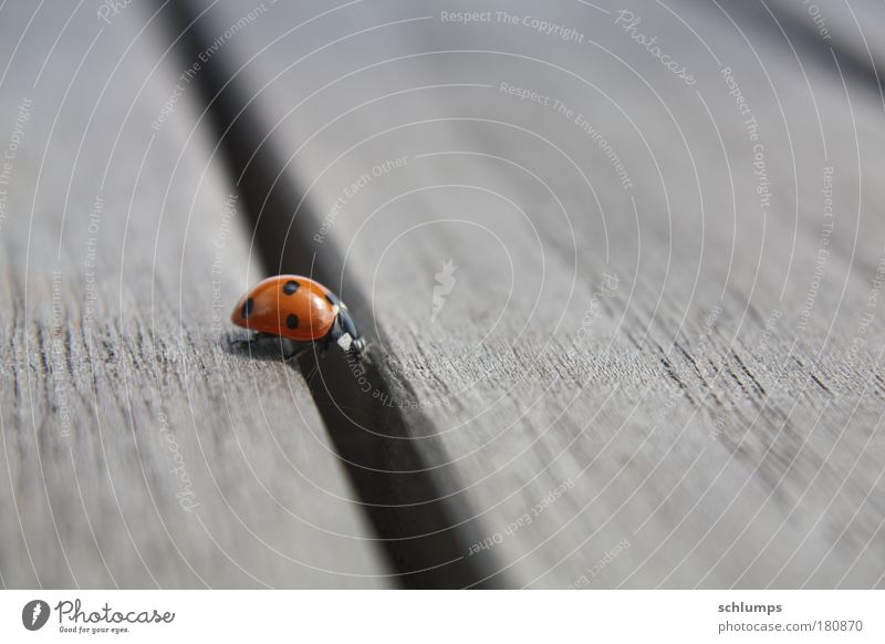 wood-way Colour photo Exterior shot Close-up Day Nature Animal Beetle 1 Wood Movement Crawl Determination Diligent Moody