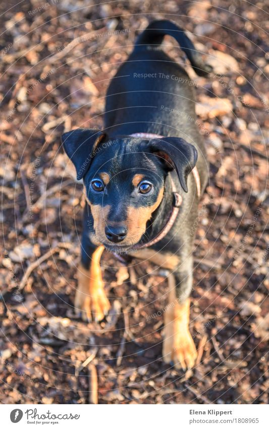"miniature pinscherwelpe Animal Pet Dog 1 Baby animal Black ""dwarf pinscher puppy miniature pinschers Puppy Mammal Nature breed nice Small sweet Colour photo"