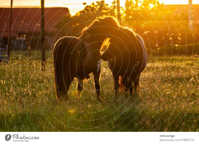 Two ponies playing Summer Nature Animal Grass Horse To feed Small colt Farm Fence field Flare Foal Mane Pasture Pony Ranch Sunset tail Europe Romania