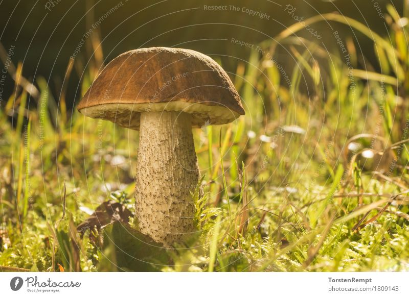 Birch mushroom in autumn light Food Nutrition Organic produce Nature Grass Meadow Forest Sustainability Mushroom birch mushroom birch boletus Leccinum scrabrum