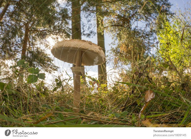 parasol mushroom Environment Nature Summer Autumn Beautiful weather Meadow Forest Eating Illuminate Edible macrolepiota Mushroom mushrooms edible mushroom