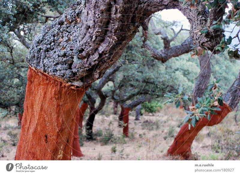 Nature Tree Plant Wood Landscape Environment Italy Agriculture Tree trunk Tree bark Foliage plant Sardinia Agricultural crop Plantation Cork Cork oak