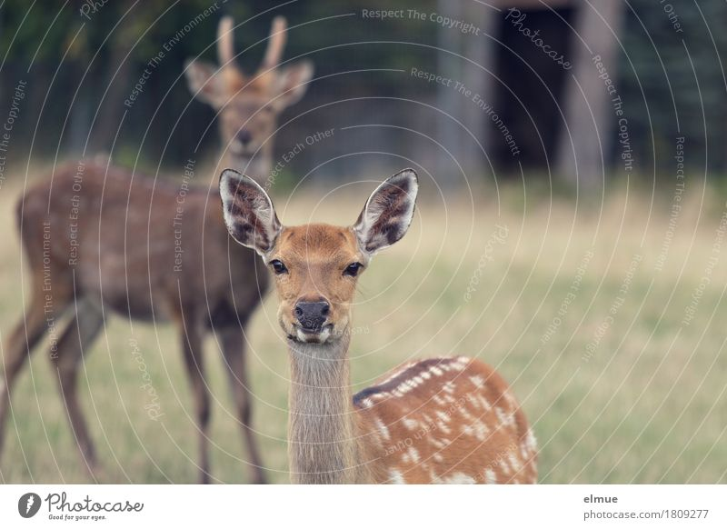 brought to the point Grass Forest sikawild Deer Buck Pelt Ear Outer ear Polka dot Point blunder Communicate Looking Stand Esthetic Together Curiosity Brown