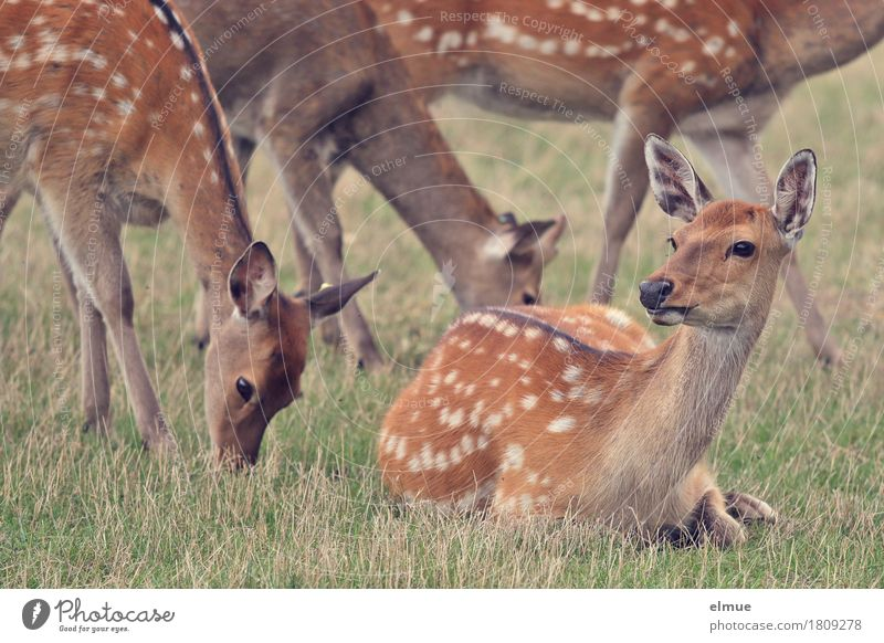 We are family Meadow sikawild Sika deer Wild animal Deer Pelt Ear Female deer Group of animals To feed Lie Stand Esthetic Together Natural Curiosity Beautiful