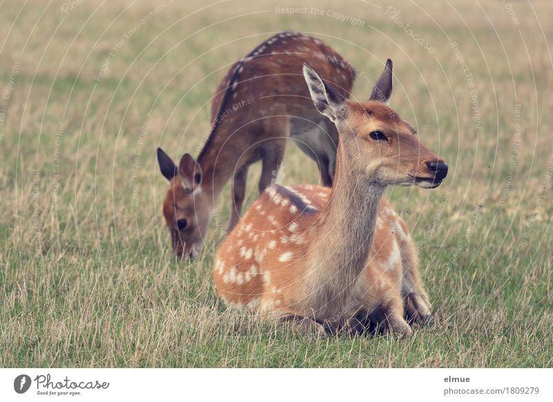 break Nature Meadow Sika deer Wild animal Female deer Baby animal Polka dot Pelt Deer 2 Animal To feed Lie Looking Stand Together Happy Brown Contentment Trust