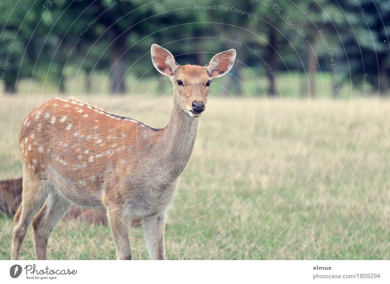 inquisitiveness Meadow sikawild Sika deer Roe deer Wild animal Vension Pelt Spotted Ear fawn brown Wild child Looking Stand Authentic Near Curiosity Brown Trust